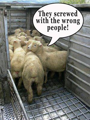 the walking sheep